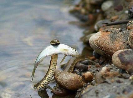 عکس/ شکار ماهی توسط مار