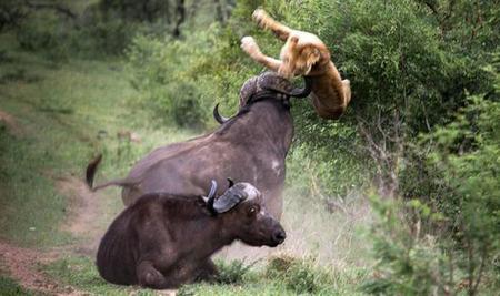 تصاویر/ شکست شیرها از بوفالو!
