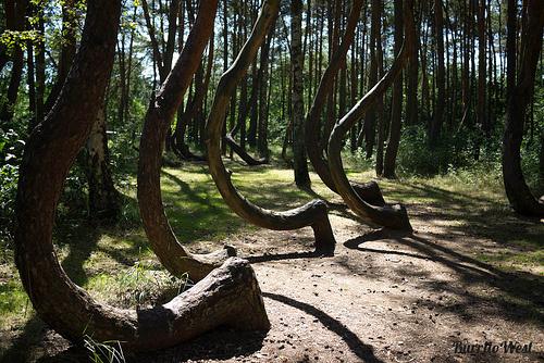 تصاویر| درختان خمیده در لهستان