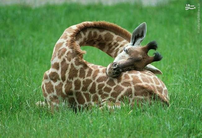 زرافه چطور می خوابد؟+تصویر