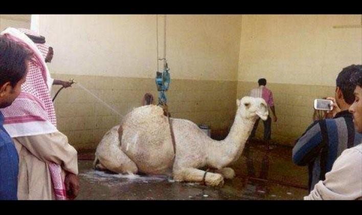 ماساژ و کارواش شتر در عربستان