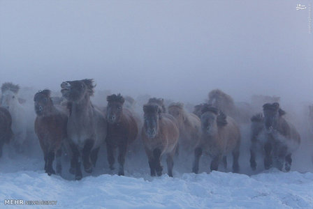 اسب هایی که در هوای سرد سیبری دوام می آورند+تصاویر