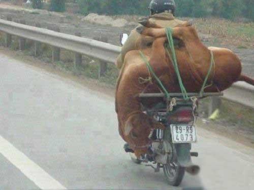 حمل گاو با موتور سیکلت +عکس